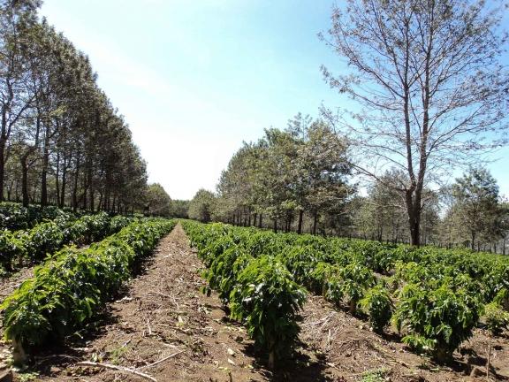 Страны выращивающие кофе